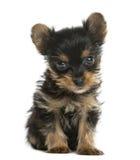 Усаживание щенка йоркширского терьера Стоковое Изображение