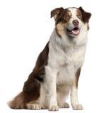 усаживание щенка 11 месяца Коллиы граници старое Стоковые Фотографии RF