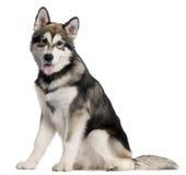 усаживание щенка 5 аляскских месяцев malmute старое стоковая фотография
