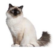 усаживание 11 birman месяца кота старое Стоковые Изображения RF
