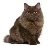 усаживание 5 великобританских месяцев котенка longhair старое стоковые фотографии rf