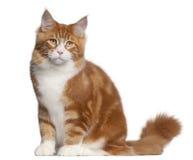 усаживание 6 месяцев Мейна енота кота старое Стоковые Изображения