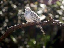 усаживание dove ветви стоковые фото