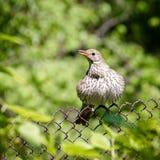 усаживание grouse зеленого цвета травы черной пущи птицы Стоковое фото RF