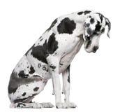 усаживание harlequin датчанина большое Стоковое Фото