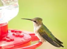 усаживание hummingbird фидера ювенильное мыжское Стоковые Изображения