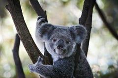 усаживание koala ветви медведя Стоковые Изображения