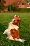 усаживание kooijker собаки Стоковая Фотография RF