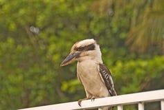 усаживание kookaburra стоковая фотография