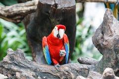 усаживание macaw ветви красное стоковые изображения