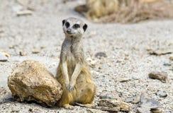 Усаживание Meerkat Стоковые Изображения
