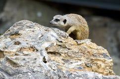 Усаживание Meerkat Стоковое Фото