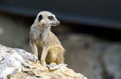 Усаживание Meerkat Стоковое Изображение