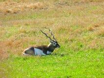 усаживание roan антилопы Стоковое фото RF