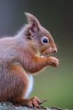 Усаживание sciurus красной белки vulgaris на еде журнала Стоковые Фотографии RF