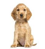 Усаживание Spaniel кокерспаниеля щенка английское, 9 недель старых Стоковое Фото