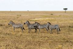 Усердие ослепляет зебр внутри в Serengeti, Танзании Стоковое Фото
