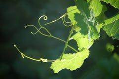 Усики виноградины Стоковые Фотографии RF