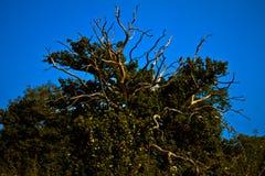 Усики древесины Стоковые Фото
