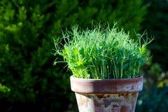 Усик зеленого цвета гороха молодой засаживает microgreens всходов в баке завода Стоковые Фотографии RF