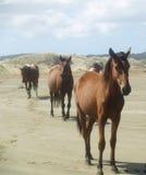 услышанная лошадь одичалая Стоковое Изображение