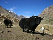 услышанные yaks стоковые изображения rf