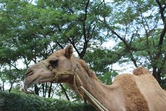 усмехаться верблюда Стоковая Фотография RF