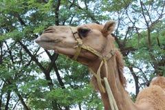 усмехаться верблюда Стоковые Изображения