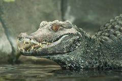 усмехаться крокодила Стоковые Изображения
