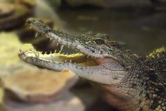 усмехаться крокодила Стоковое Изображение