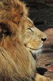 усмехаться льва Стоковые Изображения