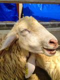 Усмехаться овец стоковое фото