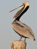 усмехаться пеликана Стоковая Фотография