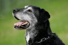 усмехаться собаки более старый Стоковое Фото