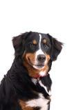 усмехаться собаки Стоковое Изображение RF