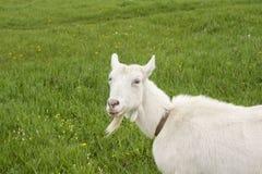 Усмехаясь женская коза на луге цветения Стоковая Фотография RF