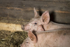 Усмехаясь маленькая свинья Стоковые Фото