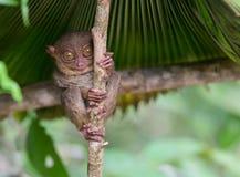 Усмехаясь милое более tarsier усаживание на дереве, Bohol Стоковые Фотографии RF