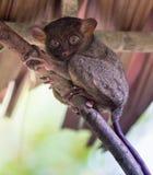 Усмехаясь милое более tarsier усаживание на дереве, Bohol Стоковое Изображение RF