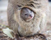 Усмехаясь младенец Quokka Стоковая Фотография