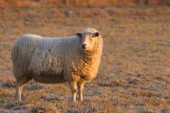 Усмехаясь овцы на холодном морозном утре Стоковые Изображения
