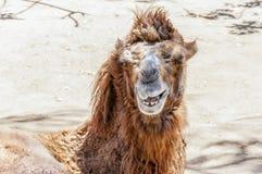 Усмехаясь портрет Bactrian верблюда Стоковое Изображение RF