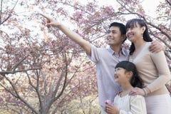Усмехаясь семья смотря вверх и восхищать вишневые цвета в парке в весеннем времени, Пекине Стоковое Изображение RF