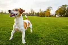 Усмехаясь смешная собака на зеленом парке Стоковое Фото