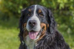 Усмехаясь собака горы Bernese Стоковая Фотография RF