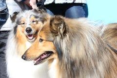 2 усмехаясь собаки Коллиы на солнечный день Стоковые Изображения RF
