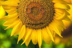 Усмехаясь солнцецвет с обручальными кольцами близко вверх Стоковые Фото