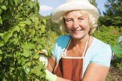 Усмехаясь старшая женщина позаботить о сад стоковое фото