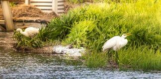 Усмехаясь Egret стоковое фото