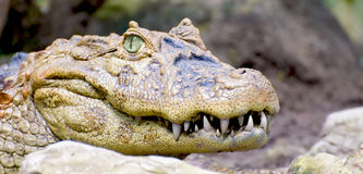 усмешка крокодила Стоковое фото RF